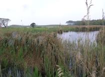 De store tuer af hvas avneknippe danner mosaikker i mosens åbne vandspejl, og giver gode ynglemuligheder for vandfugle