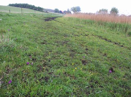 """Vildhestene slider dog også """"hestemotorveje"""" i området. Her på engstykke med majgøgeurt. Bræmmen af tagrør slås årligt tilbage for at sprede hestenes færdselsvej"""